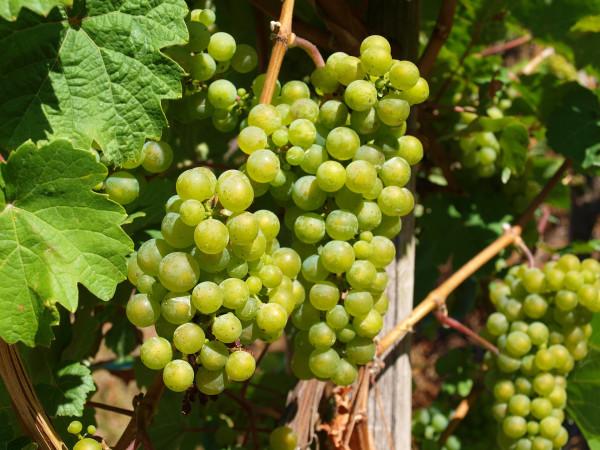 Pinot Grigio I Gadi IGT - Bennati   0.75L